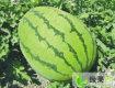 全州咸水7月甜王系列西瓜