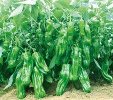 超级大果薄皮王辣椒种子耐低温 高产 抗病毒