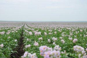 荷兰十五土豆种马铃薯种薯脱毒原种山东肥城