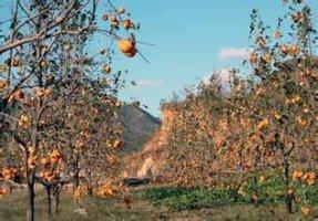 绛县绛中胡伟荣1月柿子树规格齐全绿化苗木