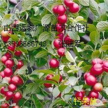 2015绛县绿化苗木现在订货有惊喜