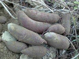 广东惠来紫薯红薯产销两旺