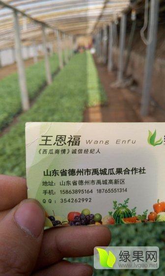 甜王西瓜苗,京欣系列西瓜苗,8424西瓜苗大量供应