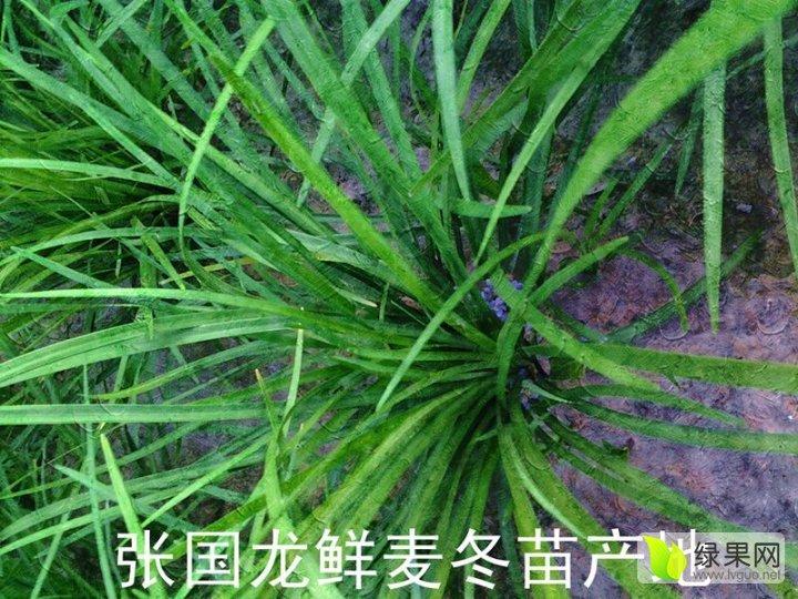 麥冬苗綠化苗木