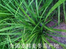 麦冬苗绿化苗木
