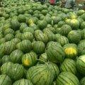 山东泗水万亩西瓜上市了 泗水西瓜基地产地欢迎