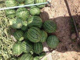大荔西瓜 水果代收20多年