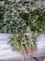 莱阳5月紫薯苗批发