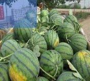 2017新干西瓜采用优良土壤种植
