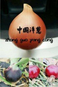 甘肃洋葱,中国洋葱,洋葱代办,田新院。