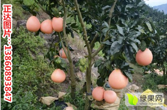 湖南哪里有卖三红蜜柚苗|湖南柚子苗价格