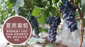宿州砀山程庄镇夏黑葡萄苗