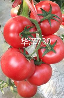 早春越冬精品大果高产西红柿种子华泽730
