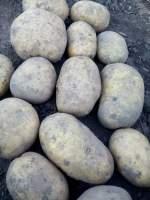 北林幸福乡出售脱毒马铃薯种子,荷兰十五