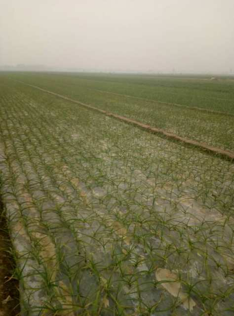 山东聊城莘县万亩洋葱,大蒜,种植区