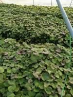 夏津育苗基地供应各种脱毒苗,高剪苗