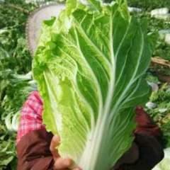 又到一年春季大白菜大量上市中