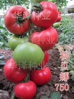 山东寿光粉贝娜750西红柿种子