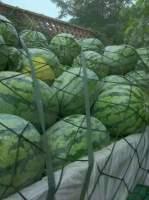 专业代办河南境内各品种优质西瓜代办代收代发