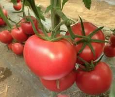 国外引进高档粉果大番茄京谷226番茄西红柿