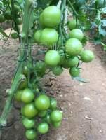 绿宝石 绿色小番茄种子 绿将军 高产 口感好