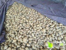 黑龙江脱毒马铃薯种子,荷兰十五