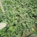 2017平度西瓜 本地有二十几年的种植经验
