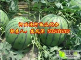 河北省阜城县漫河西瓜代办批发产地价格-西瓜上市啦!!