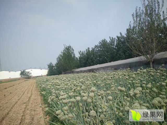山东莘县紫皮二红半高庄扁圆型洋葱种子现已开始上市