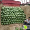 钟祥市大型西瓜产地有西瓜大量上市