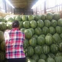 公主岭数万亩西瓜与7月中旬开始大量上市
