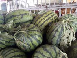 开封所有西瓜全部9成,日销量可满足日60吨