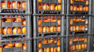 东莞水果市场代销各地柿子