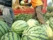 陕西大荔陆地西瓜大量批发,种植面积6000亩