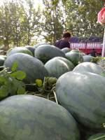 河南通许县西瓜代办基地-农威蔬菜种植农民专业合作社