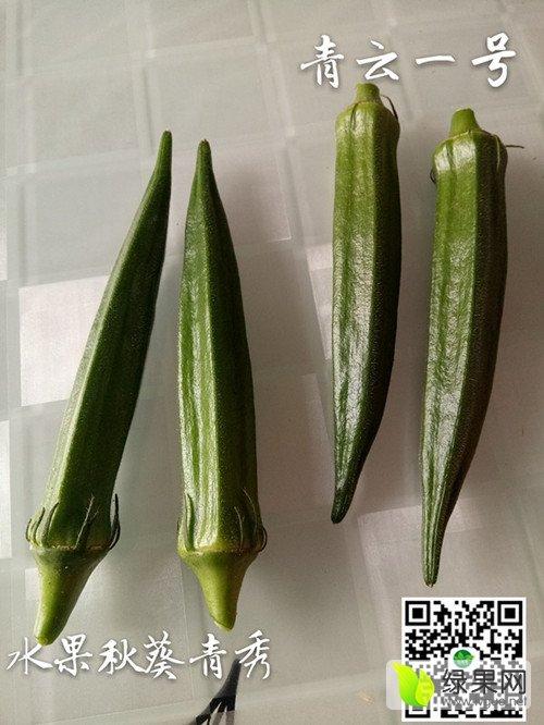 青云一号水果秋葵种子