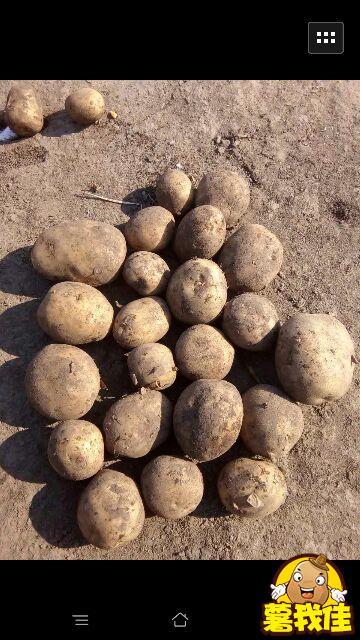 北林幸福乡大量出售脱毒马铃薯种子,荷兰七