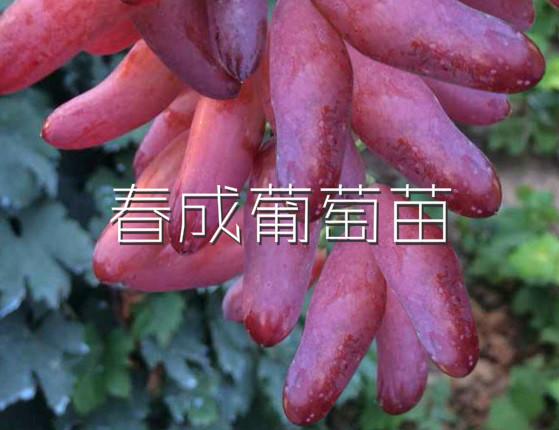 山东临朐县红宝石葡萄苗新品种