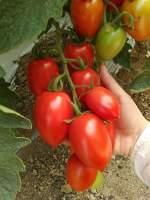 特色番茄种子,采摘园,生态园专供品种