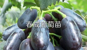 潍坊葡萄苗 黑宝石葡萄苗,单粒重12-14克