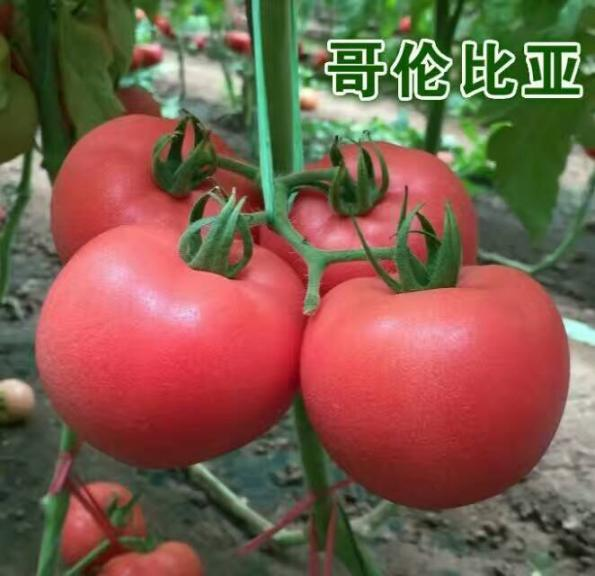 寿光番茄种子,哥伦比亚 单果重300克
