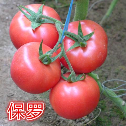 寿光圣城街硬粉西红柿种子 高端精品粉果