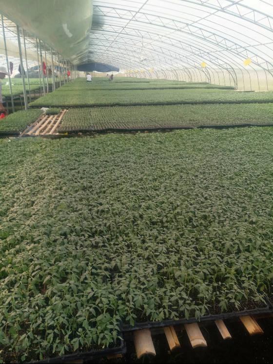 山东定陶大量出售西红柿苗,西芹苗