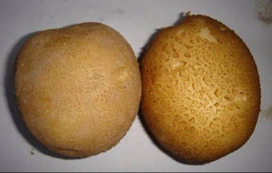 甘州大西洋土豆 白心土豆