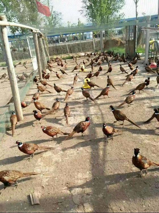 野山鸡价格