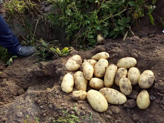 科右中旗土豆荷兰七号一级种种薯