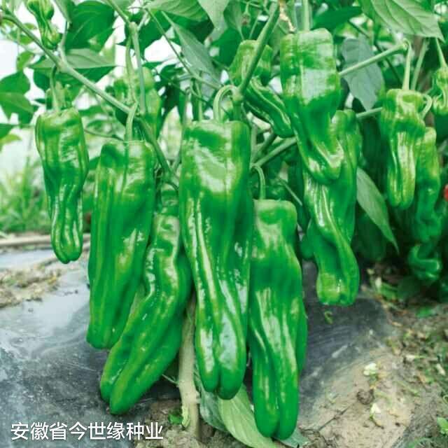 新芜湖辣椒种子早熟品种,杂交一代,耐低温