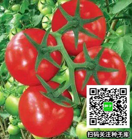丰台番茄种子价格行情平稳丰台王先生诚信合作
