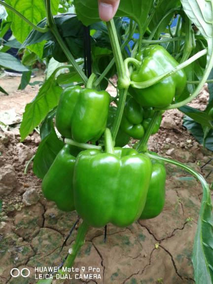 圆椒种子 甜椒种子