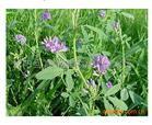 历城绿化苗木 进口紫花苜蓿种子